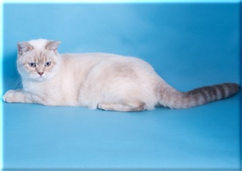 British Shorthair And Longhair Cats Specialising In The Chocolate And Lilac Series
